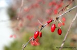 toronto winter red berries
