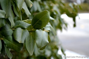 Colour Photo of Green Leaves and Snow in the background in Toronto Canada