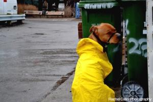Dog wearing yellow rain coat Toronto turning head