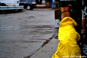 Dog wearing yellow rain coat Toronto