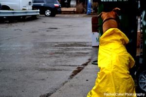 Dog wearing yellow rain coat Toronto