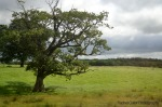 Ireland Photo of Tree from moving bus