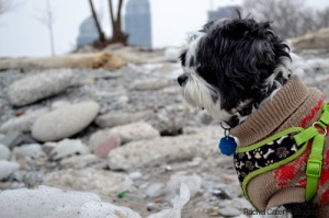 toronto beach scamp gazing at rocks