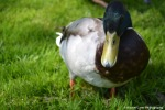 Close up of a duck in Amsterdam Rachel Cater Photography