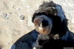 Colour Photograph of shi-poo scamp at a Toronto Beach