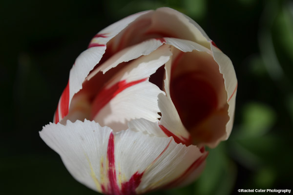 Macro Colour Photograph of Pink and White Tulip Rachel Cater Photography