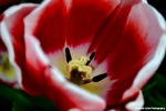 Red White Tulip Rachel Cater Photography