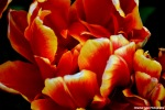 Red Yellow Tulip Rachel Cater Photography