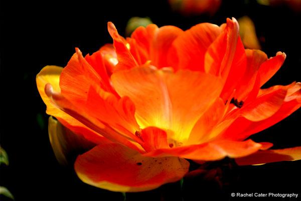 Tulip Festival Rachel Cater Photography