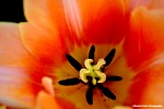 Vibrant Tulip Rachel Cater Photography