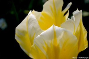 Yellow Tulip Rachel Cater Photography