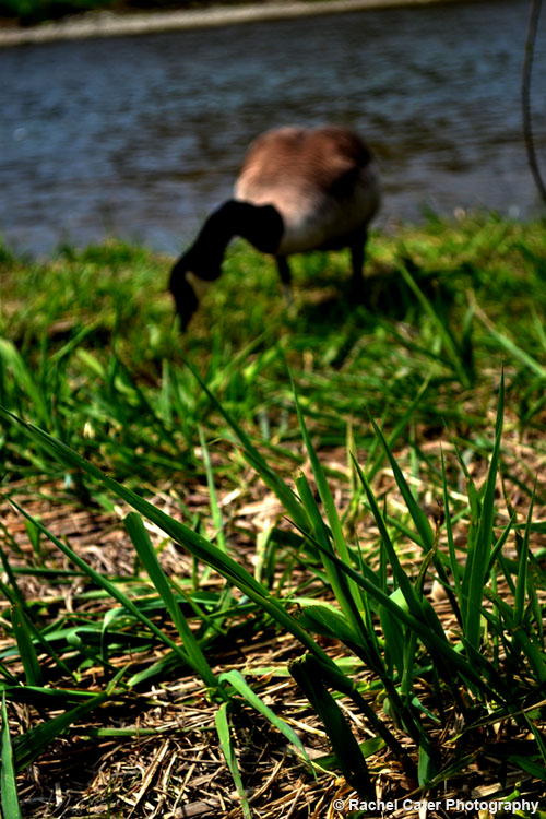 Canada Goose Eating in Toronto_Rachel Cater Photography