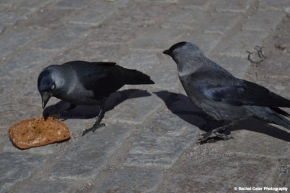 Close up of Birds Stockholm about to Eat Bread Rachel Cater Photography