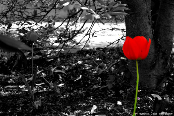 Red Tulip against a black and white background
