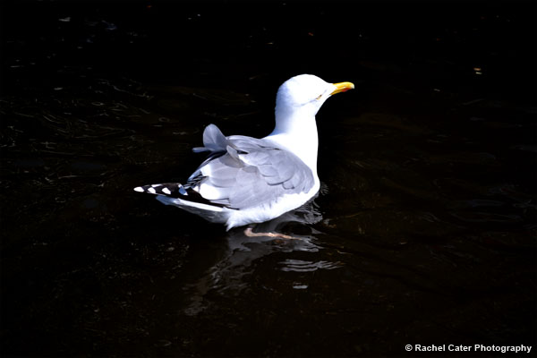 Seagull in Amsterdam Rachel Cater Photography