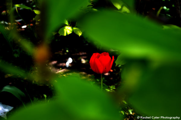 View of tulip through leaves Rachel Cater Photography