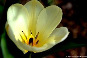 Yellow Tulip in Toronto Rachel Cater Photography