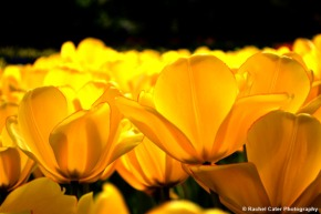 Yellow Tulips Holland Rachel Cater Photography