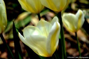 Yellow Tulips in Toronto Rachel Cater Photography