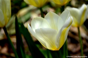 Yellow Tulips Toronto Rachel Cater Photography