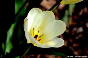 Yellow White Tulip in Toronto Canada Rachel Cater Photography