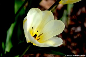 Yellow White Tulip in Toronto Canada Rachel Cater Photography