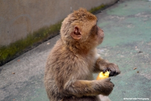 Listening Monkey in Gibraltar Rachel Cater Photography