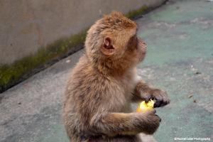 Listening Monkey in Gibraltar Rachel Cater Photography