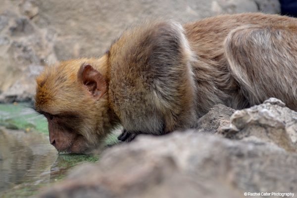 Monkey crouching to drink Water in Gibraltar Spain Rachel Cater Photography