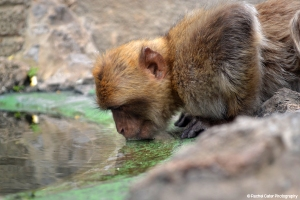 Monkey Drinking Water in Gibraltar Spain Rachel Cater Photography