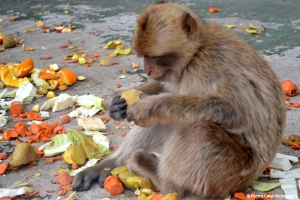 Monkey Eating in Gibraltar Rachel Cater Photography