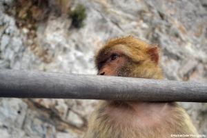 Pensive Monkey in Gibraltar Spain Rachel Cater Photography