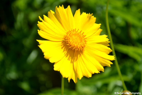 Yellow Flower Rachel Cater Photography