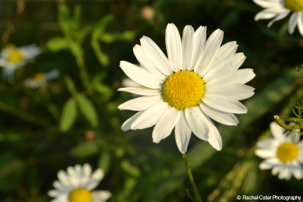 Daisy in the sun Rachel Cater Photography