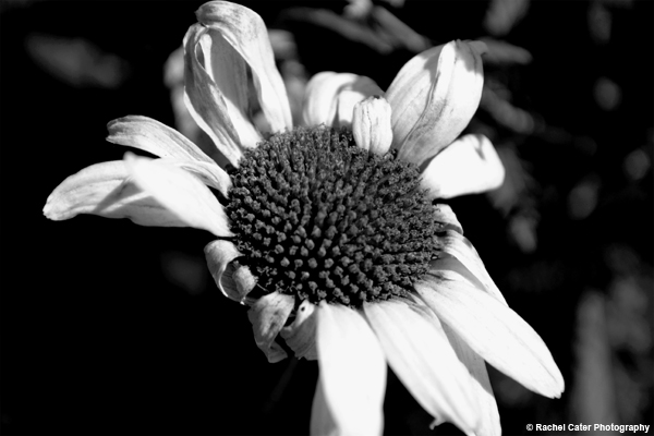 Dying Daisy Rachel Cater Photography