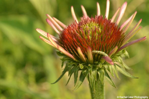 Fire Flower Rachel Cater Photography
