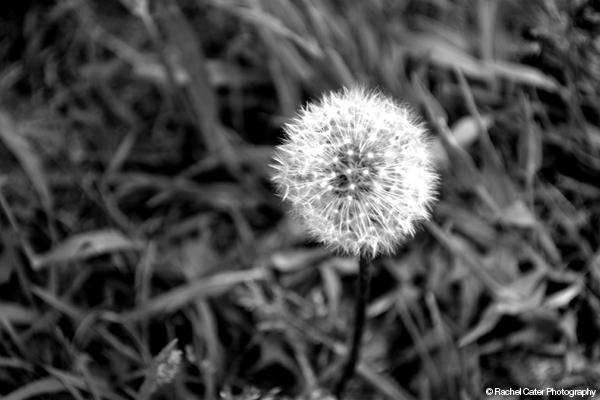 Old Dandelion Rachel Cater Photography