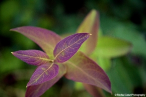 Purple Leaves Rachel Cater Photography