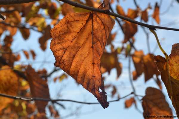 Autumn Leaves Rachel Cater Photography