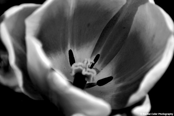 black and white tulip Rachel Cater Photography