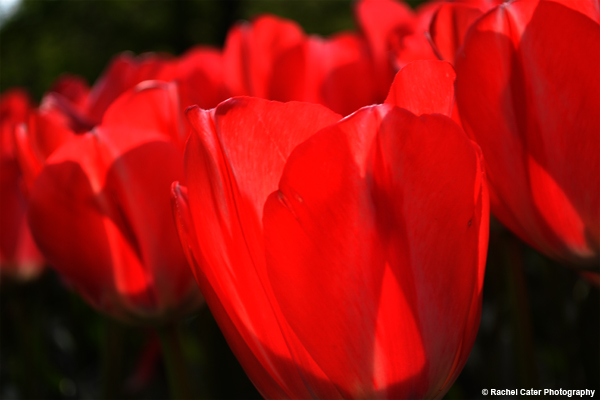 close up of tulips Rachel Cater Photography