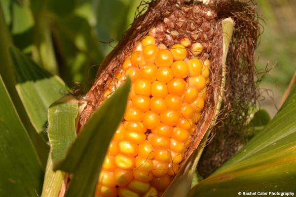 Corn Rachel Cater Photography