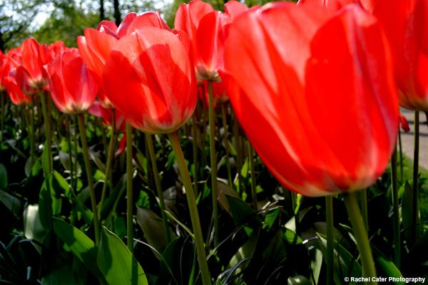 Row of tulips Rachel Cater Photography