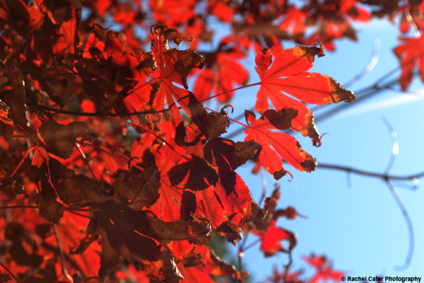 Bright Autumn Leaves Rachel Cater Photography