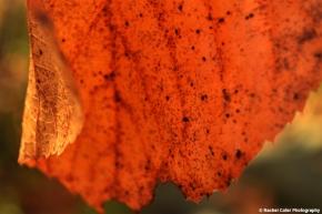 Dancing Autumn Leaf Rachel Cater Photography
