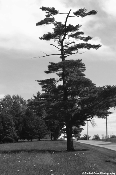 Strong Tree Rachel Cater Photography