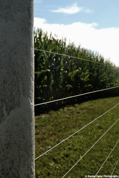 corn field rachel cater photography