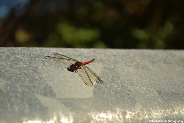 dragonfly Rachel Cater Photography