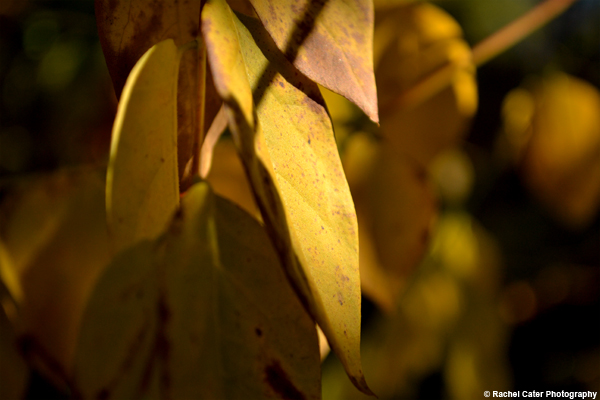 Golden Leaf Rachel Cater Photography