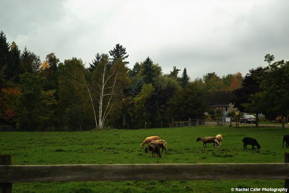 livestock on a farm Rachel Cater Photography